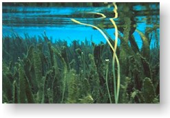 Tape-grass in The Rainbow River, Dunnellon Florida